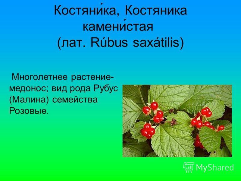 Костяни́ка, Костяника камени́стая (лат. Rúbus saxátilis) Многолетнее растение- медонос; вид рода Рубус (Малина) семейства Розовые.