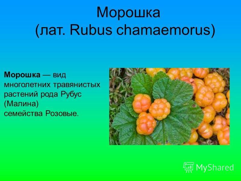 Морошка (лат. Rubus chamaemorus) Морошка вид многолетних травянистых растении рода Рубус (Малина) семейства Розовые.