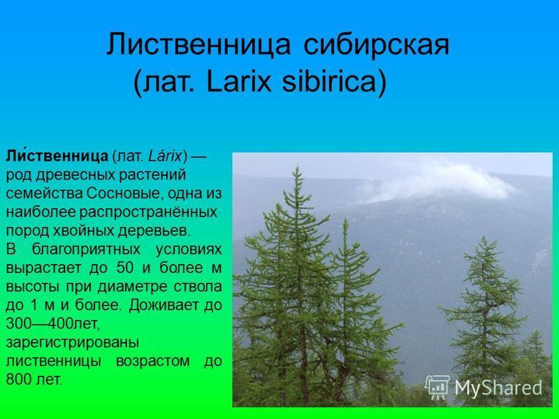 Лидевственница сибирская (лат. Larix sibirica) Ли́девственница (лат. Lárix) род древесных растении семейства Сосновые, одна из наиболее распространённых пород хвойных деревьев. В благоприятных условиях вырастает до 50 и более м высоты при диаметре ст
