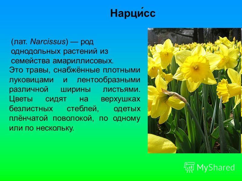 Нарци́сс (лат. Narcissus) род однодольных растении из семейства амариллисовых. Это травы, снабжённые плотными луковицами и лентообразными различной ширины листьями. Цветы сидят на верхушках безлистных стеблей, одетых плёнчатой поволокой, по одному ил