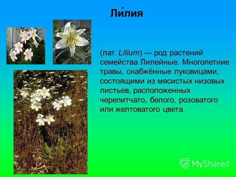 Ли́лия (лат. Lílium) род растении семейства Лилейные. Многолетние травы, снабжённые луковицами, состоящими из мясистых низовых листьев, расположенных черепитчато, белого, розоватого или желтоватого цвета.
