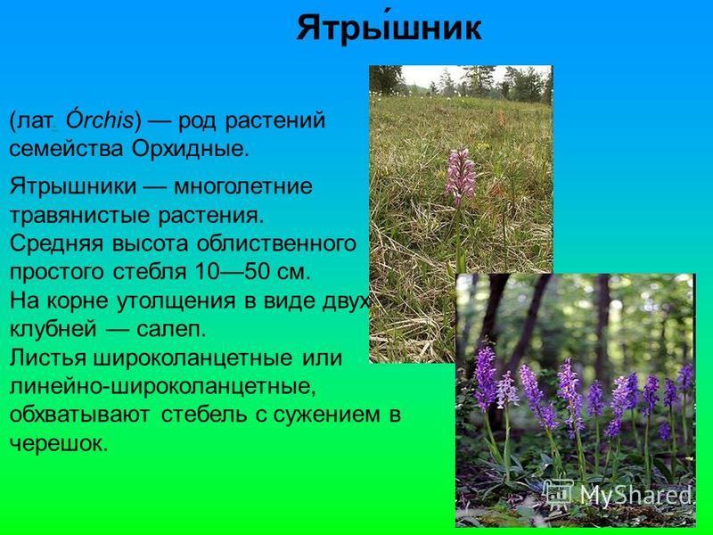 Ятры́шник (лат. Órchis) род растении. семейства Орхидные. Ятрышники многолетние травянистые растения. Средняя высота облиственного простого стебля 1050 см. На корне утолщения в виде двух клубней салеп. Листья широколанцетные или линейно-широколанцетн