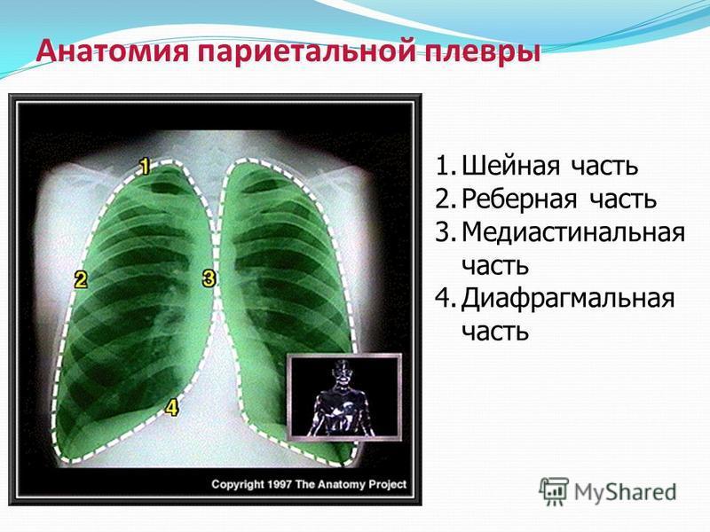 Анатомия париетальной плевры 1. Шейная часть 2. Реберная часть 3. Медиастинальная часть 4. Диафрагмальная часть