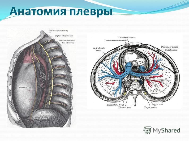 Анатомия плевры