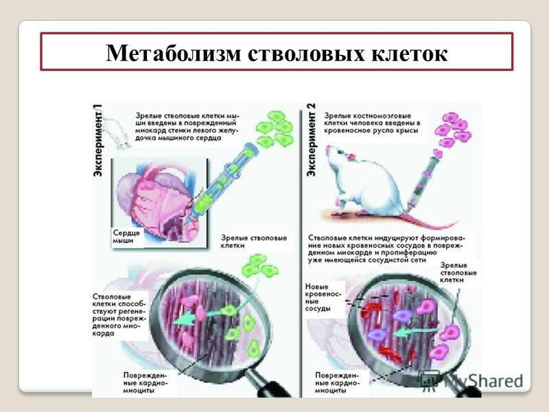 Метаболизм стволовых клеток