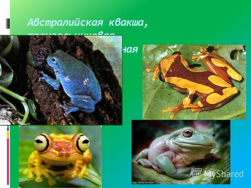 Австралийская квакша, треугольниковая, Имбабура,жабовидная