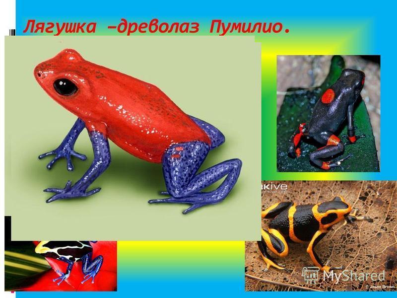 Лягушка –древолаз Пумилио.