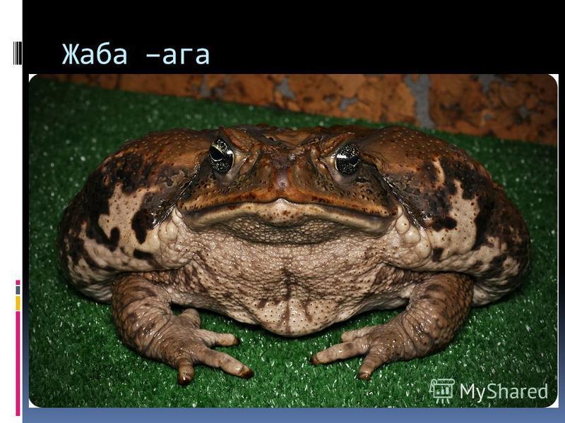 Жаба –ага