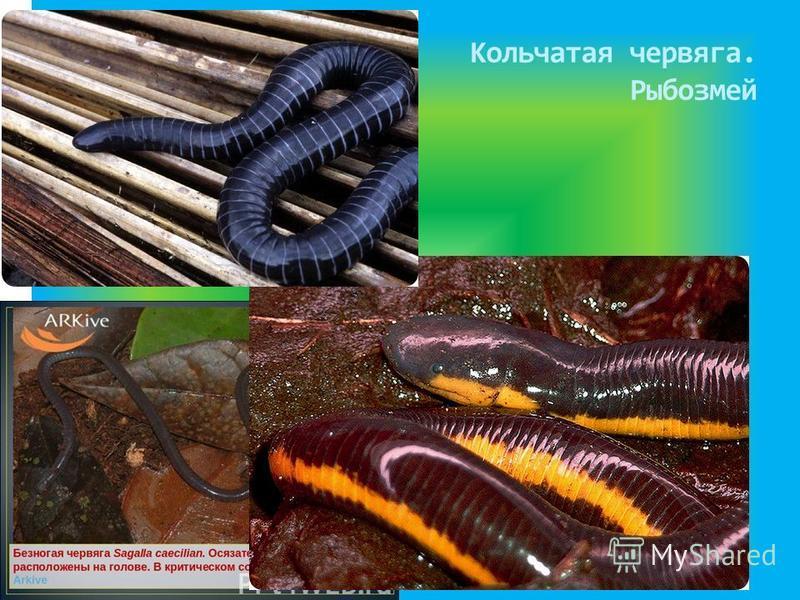 Кольчатая червяга. Рыбозмей