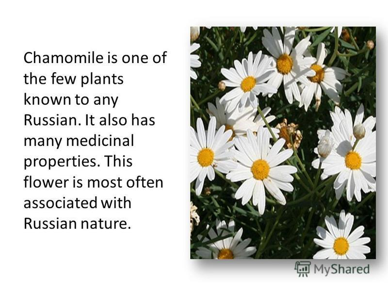 Chamomile is one of the few plants known to any Russian. It also has many medicinal properties. This flower is most often associated with Russian nature.