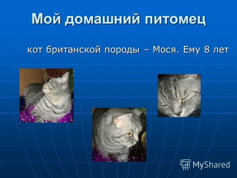 Мой домашний питомец кот британской породы – Мося. Ему 8 лет