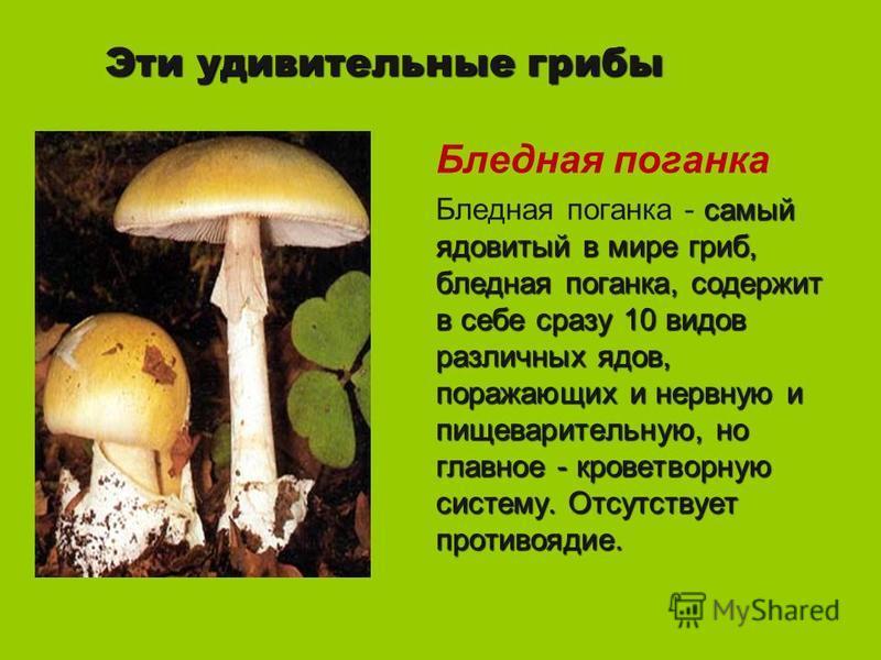 Эти удивительные грибы Бледная поганка самый ядовитый в мире гриб, бледная поганка, содержит в себе сразу 10 видов различных ядов, поражающих и нервную и пищеварительную, но главное - кроветворную систему. Отсутствует противоядие. Бледная поганка - с