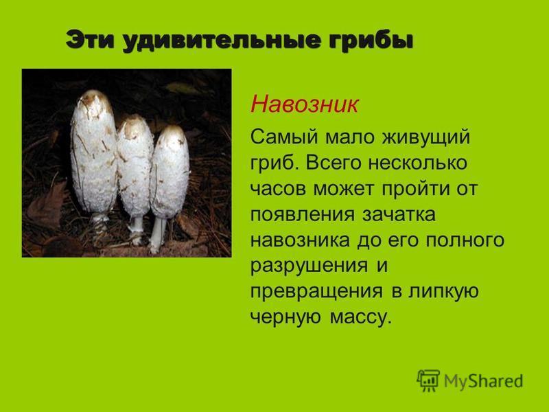 Эти удивительные грибы Навозник Самый мало живущий гриб. Всего несколько часов может пройти от появления зачатка навозника до его полного разрушения и превращения в липкую черную массу.