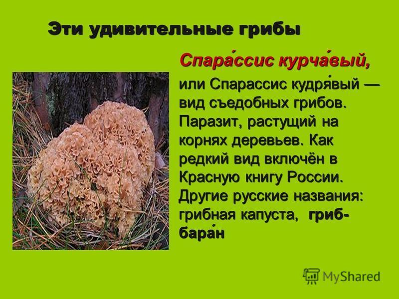 Эти удивительные грибы Спара́ссис курса́вый, или Спарассис кудря́вый вид съедобных грибов. Паразит, растущий на корнях деревьев. Как редкий вид включён в Красную книгу России. Другие русские названия: грибная капуста, гриб- бара́н
