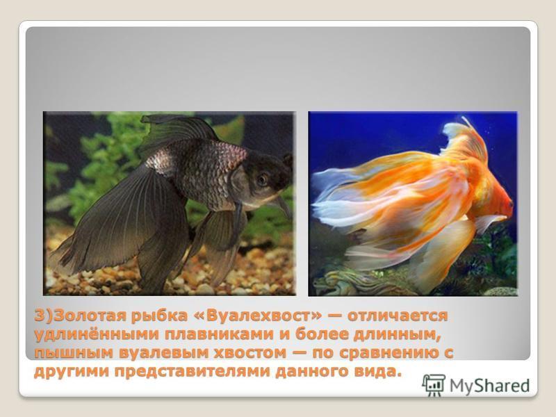 3)Золотая рыбка «Вуалехвост» отличается удлинёнными плавниками и более длинным, пышным вуалевым хвостом по сравнению с другими представителями данного вида.