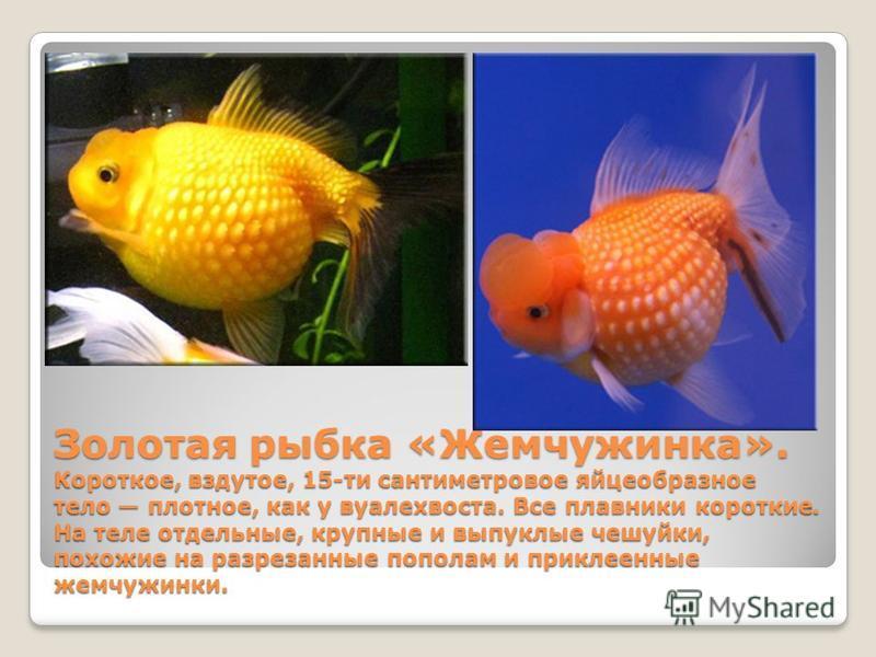 Золотая рыбка «Жемчужинка». Короткое, вздутое, 15-ти сантиметровое яйцеобразное тело плотное, как у вуалехвоста. Все плавники короткие. На теле отдельные, крупные и выпуклые чешуйки, похожие на разрезанные пополам и приклеенные жемчужинки.