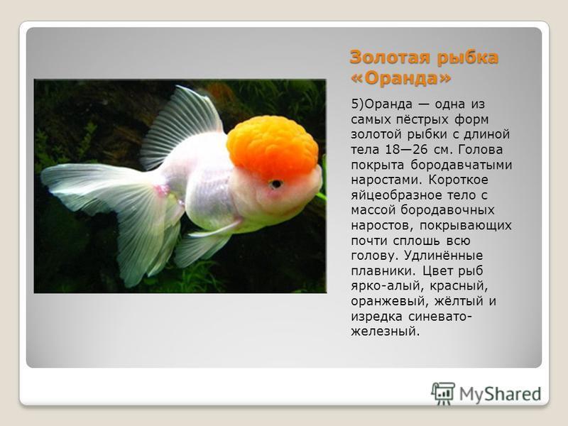 Золотая рыбка «Оранда» 5)Оранда одна из самых пёстрых форм золотой рыбки с длиной тела 1826 см. Голова покрыта бородавчатыми наростами. Короткое яйцеобразное тело с массой бородавочных наростов, покрывающих почти сплошь всю голову. Удлинённые плавник