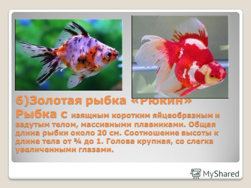 6)Золотая рыбка «Рюкин» Рыбка с изящным коротким яйцеобразным и вздутым телом, массивными плавниками. Общая длина рыбки около 20 см. Соотношение высоты к длине тела от ¾ до 1. Голова крупная, со слегка увеличенными глазами.