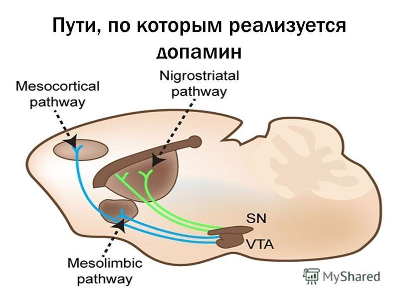 Пути, по которым реализуется допамин