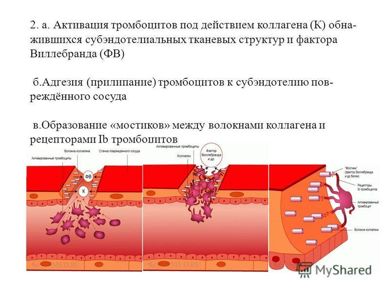 2. а. Активация тромбоцитов под действием коллагена (К) обнажившихся субэндотелиальных тканевых структур и фактора Виллебранда (ФВ) б.Адгезия (прилипание) тромбоцитов к субэндотелию повреждённого сосуда в.Образование «мостиков» между волокнами коллаг