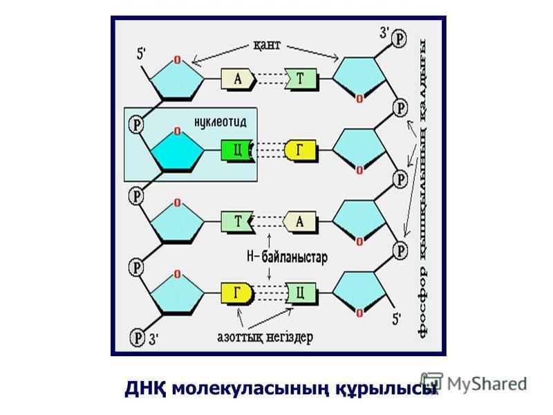 ДНҚ молекуласының құрылысы