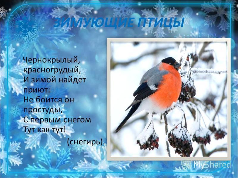ЗИМУЮЩИЕ ПТИЦЫ Чернокрылый, красногрудый, И зимой найдет приют: Не боится он простуды, С первым снегом Тут как тут! (снегирь).