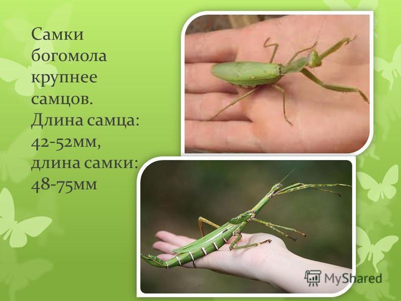Самки богомола крупнее самцов. Длина самца: 42-52 мм, длина самки: 48-75 мм