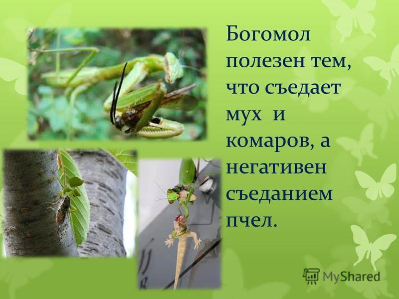 Богомол полезен тем, что съедает мух и комаров, а негативен съеданием пчел.