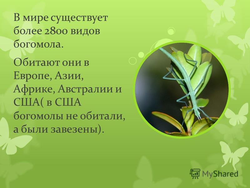 В мире существует более 2800 видов богомола. Обитают они в Европе, Азии, Африке, Австралии и США( в США богомолы не обитали, а были завезены).