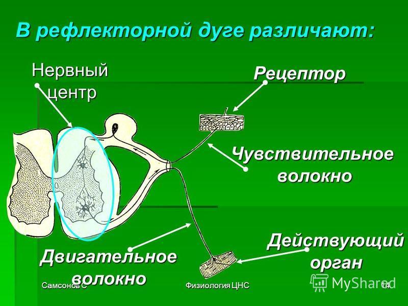Самсонов СФизиология ЦНС14 В рефлекторной дуге различают: Рецептор Чувствительное волокно волокно Нервныйцентр Двигательноеволокно Действующийорган