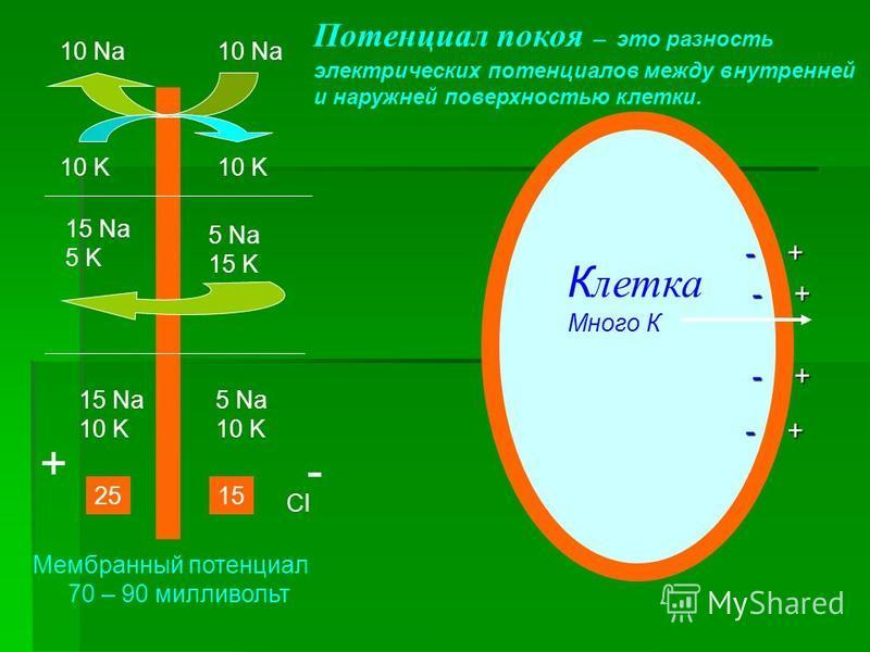 10 Na 10 K 10 Na 10 K + 5 Na 15 K 15 Na 5 K 15 Na 10 K 5 Na 10 K 2515 Cl - К летка Много К Потенциал покоя – это разность электрических потенциалов между внутренней и наружной поверхностью клетки. Мембранный потенциал 70 – 90 милливольт - +