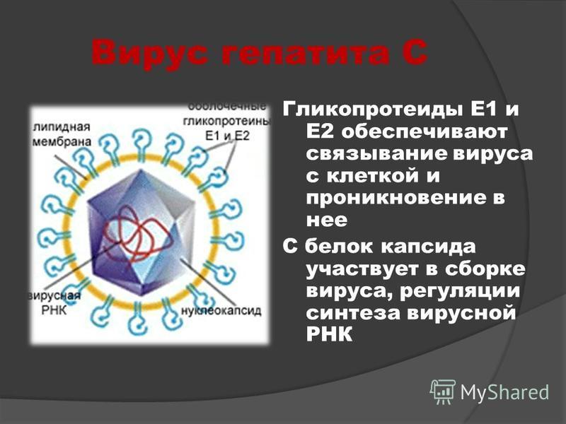 Вирус гепатита С Гликопротеиды Е1 и Е2 обеспечивают связывание вируса с клеткой и проникновение в нее С белок капсида участвует в сборке вируса, регуляции синтеза вирусной РНК