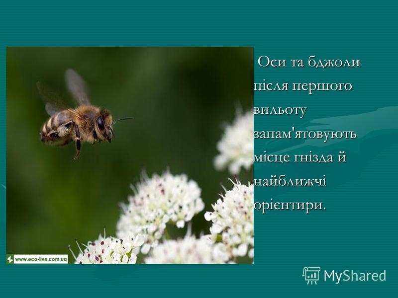 Оси та бджоли Оси та бджоли після першого вильотузапам'ятовують місце гнізда й найближчіорієнтири.