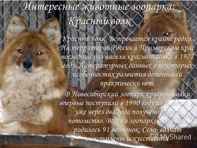 Интересные животные зоопарка: Красный волк Красный волк. Встречается крайне редко. На территории России в Приморском крае последний раз видели красного волка в 1972 году. Литературных данных о некоторых особенностях развития детенышей практически нет
