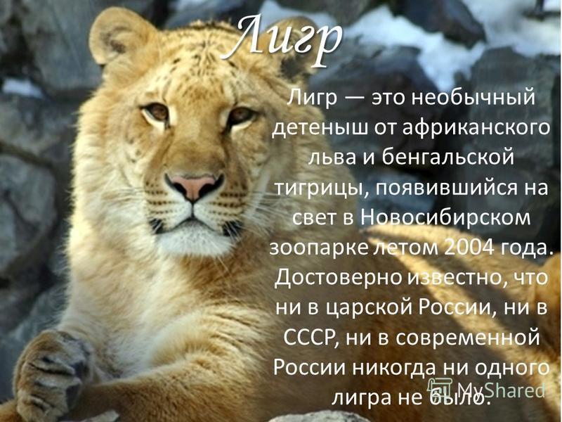 Лигр Лигр это необычный детеныш от африканского льва и бенгальской тигрицы, появившийся на свет в Новосибирском зоопарке летом 2004 года. Достоверно известно, что ни в царской России, ни в СССР, ни в современной России никогда ни одного лигра не было