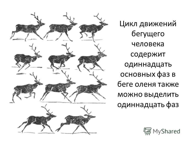 Цикл движений бегущего человека содержит одиннадцать основных фаз в беге оленя также можно выделить одиннадцать фаз