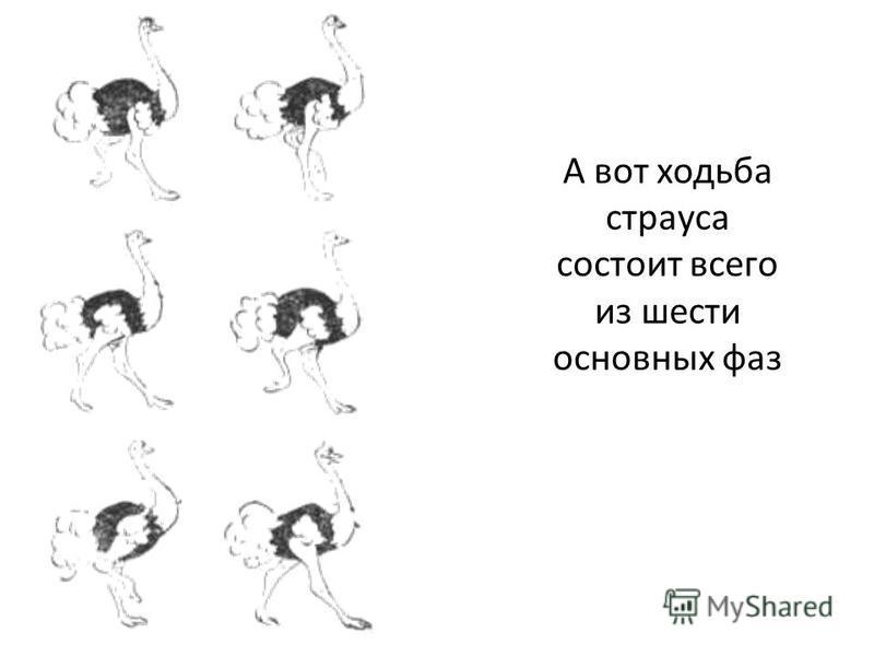 А вот ходьба страуса состоит всего из шести основных фаз