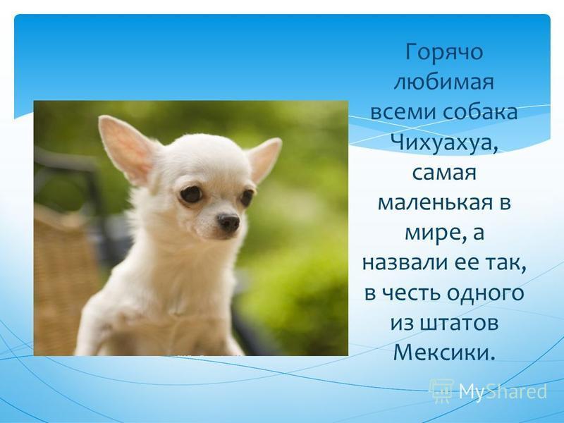 Горячо любимая всеми собака Чихуахуа, самая маленькая в мире, а назвали ее так, в честь одного из штатов Мексики.