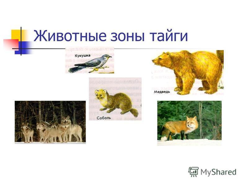 Животные зоны тайги