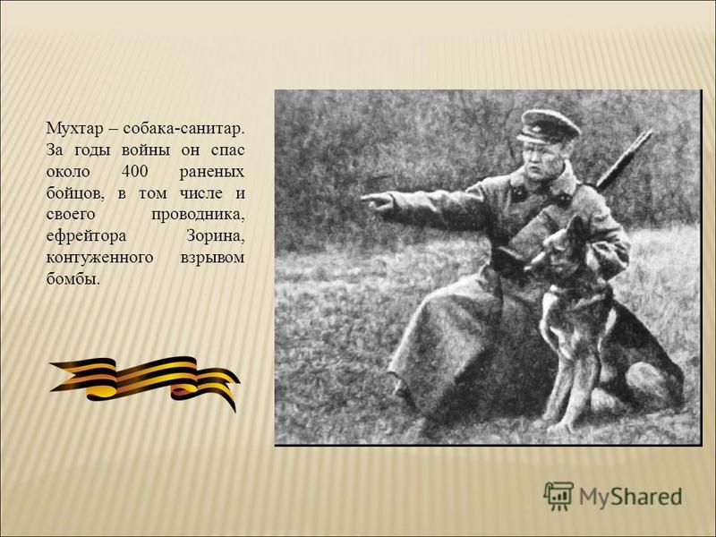 Мухтар – собака-санитар. За годы войны он спас около 400 раненых бойцов, в том числе и своего проводника, ефрейтора Зорина, контуженного взрывом бомбы.