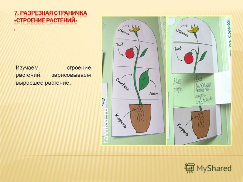 Изучаем строение растений, зарисовываем выросшее растение.