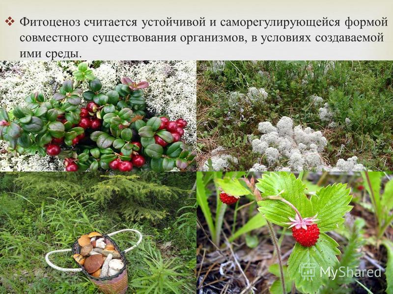 Фитоценоз считается устойчивой и саморегулирующейся формой совместного существования организмов, в условиях создаваемой ими среды.