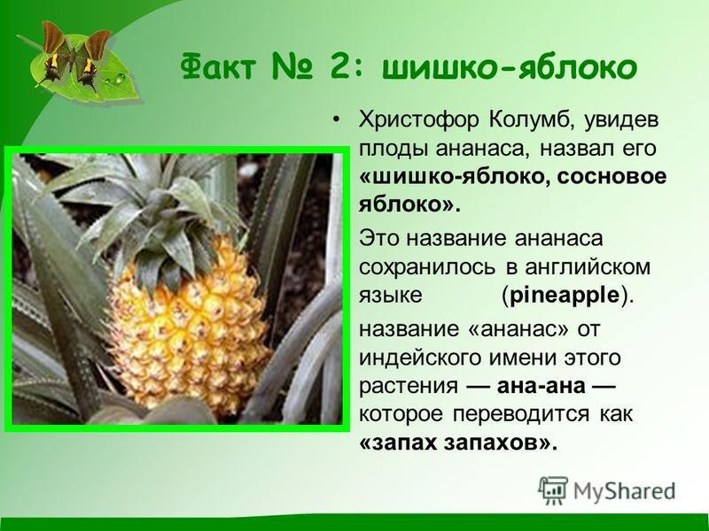 Факт 2: шишка-яблоко Христофор Колумб, увидев плоды аннаннаса, назвал его «шишка-яблоко, сосновое яблоко». Это название аннаннаса сохранилось в английском языке (pineapple). название «аннаннас» от индейского имени этого растения анна-анна которое пер