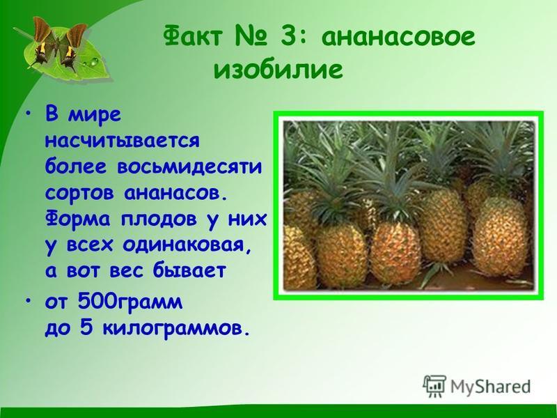 Факт 3: аннаннасовое изобилие В мире насчитывается более восьмидесяти сортов аннаннасов. Форма плодов у них у всех одинаковая, а вот вес бывает от 500 грамм до 5 килограммов.
