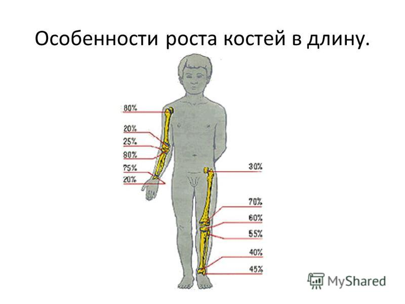 Особенности роста костей в длину.