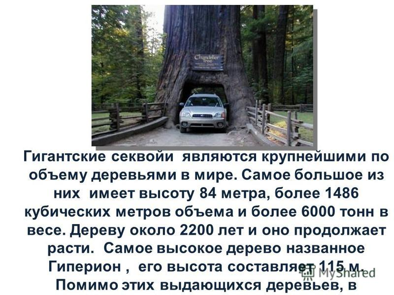 Гигантские секвойи являются крупнейшими по объему деревьями в мире. Самое большое из них имеет высоту 84 метра, более 1486 кубических метров объема и более 6000 тонн в весе. Дереву около 2200 лет и оно продолжает расти. Самое высокое дерево названное