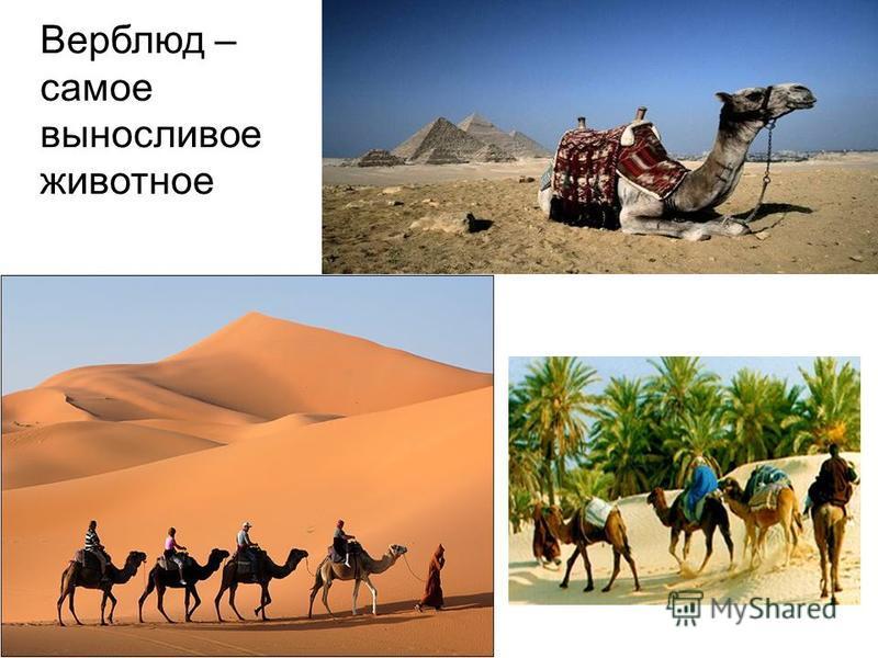 Верблюд – самое выносливое животное