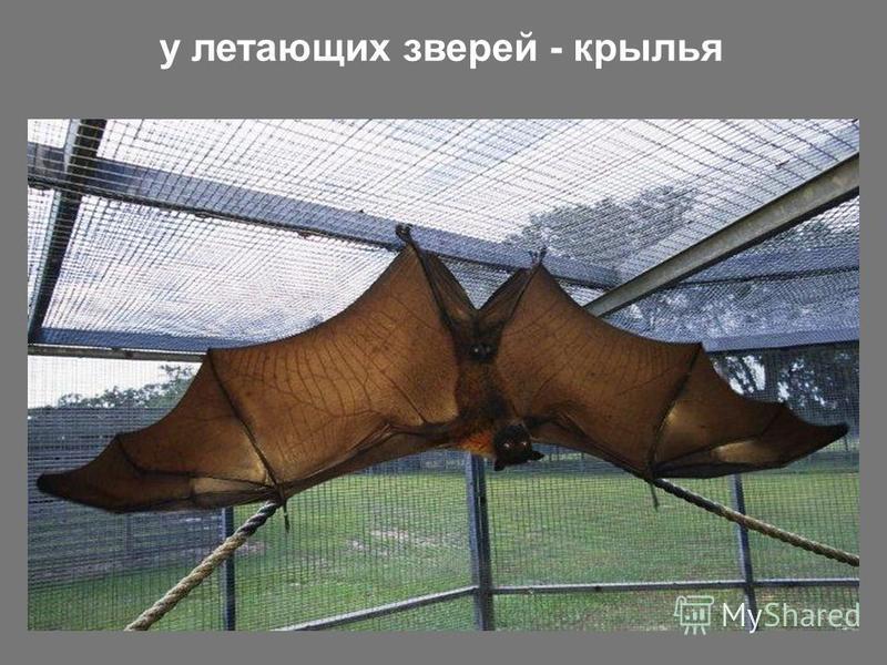 у летающих зверей - крылья