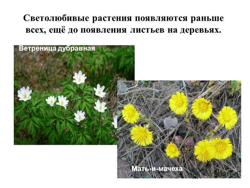 Светолюбивые растения появляются раньше всех, ещё до появления листьев на деревьях. Ветреница дубравная Мать-и-мачеха