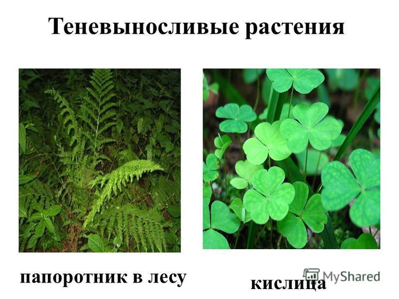 Теневыносливые растения папоротник в лесу кислица